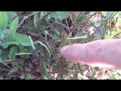 Funny plant - Efate Vanuatu