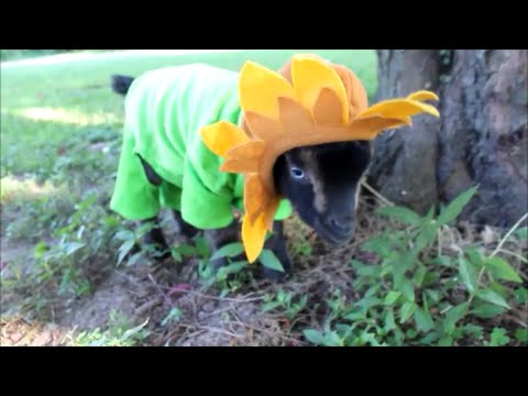 Baby Goat is a Flower : baby sunflower costume  - Germanpascual.Com
