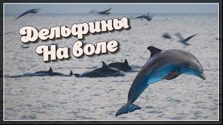 Невероятно! Дельфины в Черном море! Dolphins in Sea in 2020 / Живая Природа 4К / HD