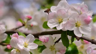 Ф. Шопен - Весенний вальс...   - F. Chopin -  Waltz № 3