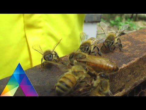 rahasia perilaku lebah madu wmv funnycat tv