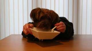 Yorkshire Terrier Dog Eating His Breakfast ***funny***