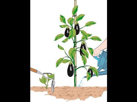 Coltivare melanzane doovi for Melanzane innestate