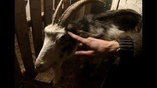 Скандал с глистами, или 8 таблеток в одну козу