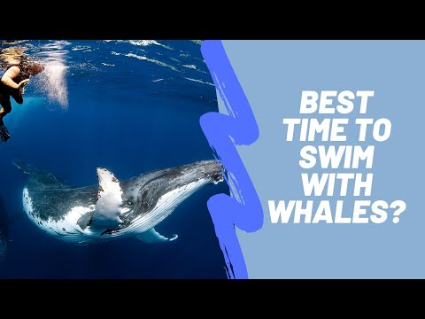 Best Time to Swim With Whales in Tonga | Vava'u, Tonga | Humpback Swims