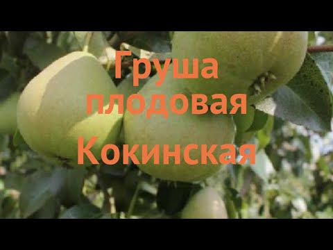 Груша плодовая Кокинская (pyrus Communis) 🌿 Кокинская обзор: как сажать, саженцы груши Кокинская