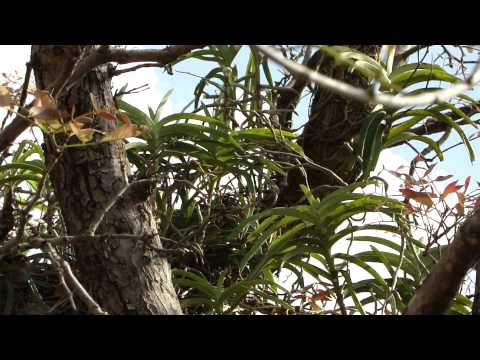 Diabetes Herbs. 338D. Pterocarpus marsupium with Medicinal Orchids © Pankaj Oudhia