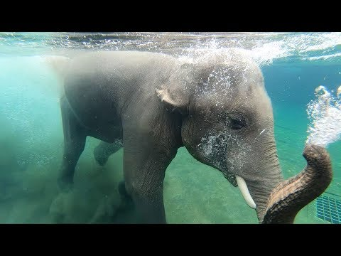 Elephants swimming in Elephant Lands