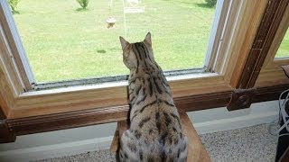 Bengal Cat Chirping To The Birds | Cat Chirping Video