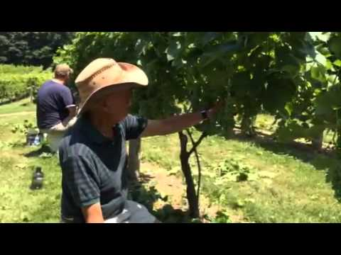 Leaf Plucking at Jewell Towne Vineyards