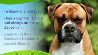Boxer Dog History