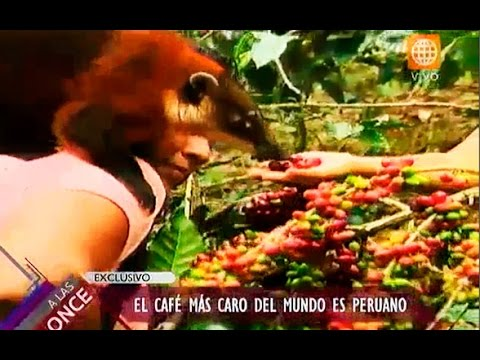 A las once: Conoce cómo se hace el café más caro del mundo en Perú