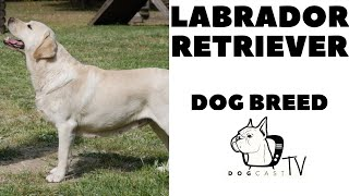 Labrador Retriever Dog Breed  DogCastTV