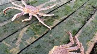 Камчатский краб ползет