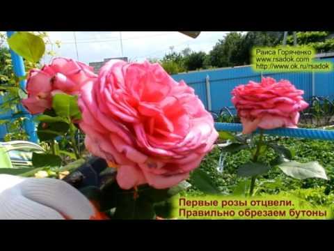 Когда отцвели розы что с ними делать