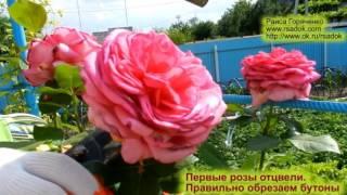 Первые розы отцвели. Правильно обрезаем бутоны