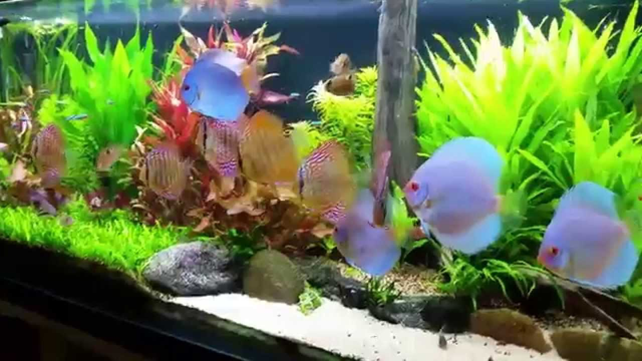 Co2 planted tank aquarium with my sweet discus fish 1080p for Co2 fish tank