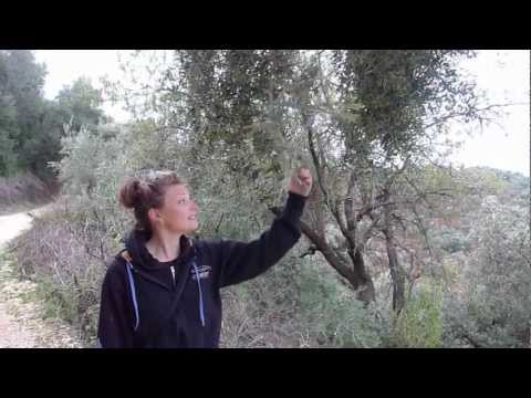 The Long Road To Olive Ownership In Albania