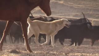 Реальные рабочие азиаты. Real working tajik shepherd dogs.