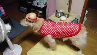 帽子は何回かお散歩でかぶって可愛いと言われて、誇らしげだったのですが、新しいお洋服は、なぜか、フリージング。。 でも、いざ、お散...