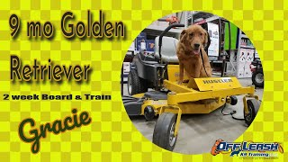 9 mos Golden Retriever (Gracie)| Board and Train | Delaware Dog Trainer