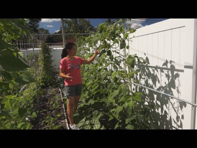 How to direct and prune long bean vines