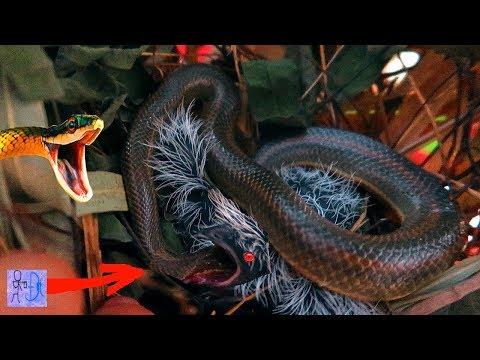 Phát Hiện Rắn Hổ Mang Chúa Trong Tổ Chim Bìm Bịp . Rắn Độc VS Chim Bìm Bịp . Snake VS Bird