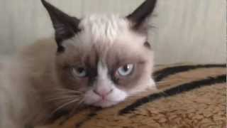 Самый серьезный кот в мире (Grumpy Cat)