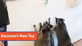 Group Of Racoons Reach For Lure