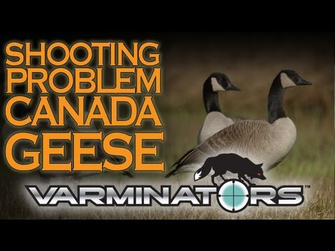 Shooting Problem Canada Geese