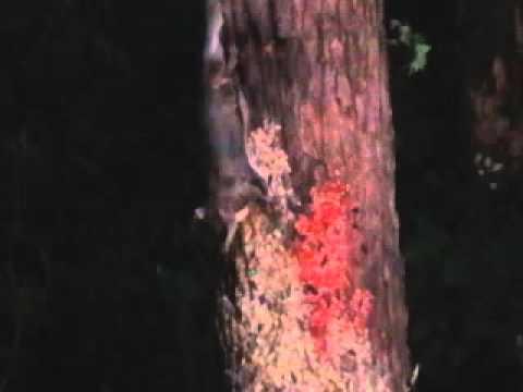 The Flying Squirrels of Hot Springs Village, Arkansas