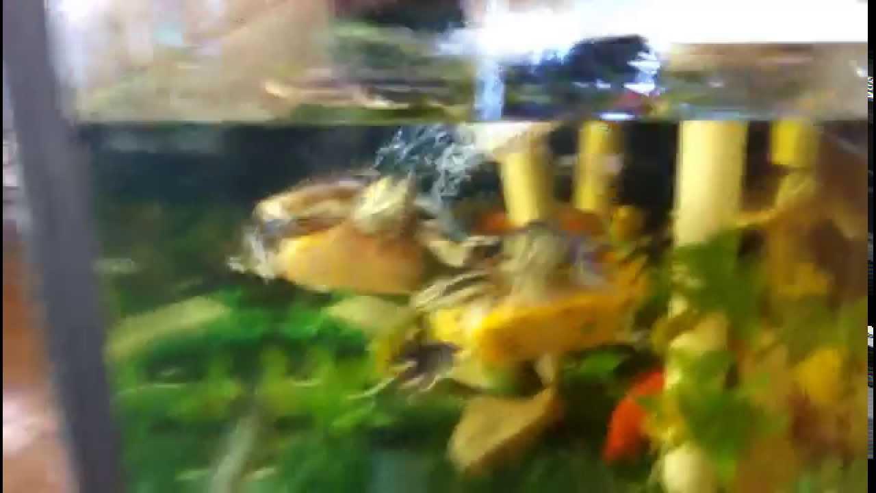 Tartarughe con pesci rossi in acquario doovi for Laghetto pesci rossi e tartarughe