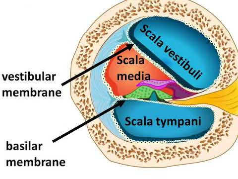 Ear Diagram In Hindi - Human Anatomy