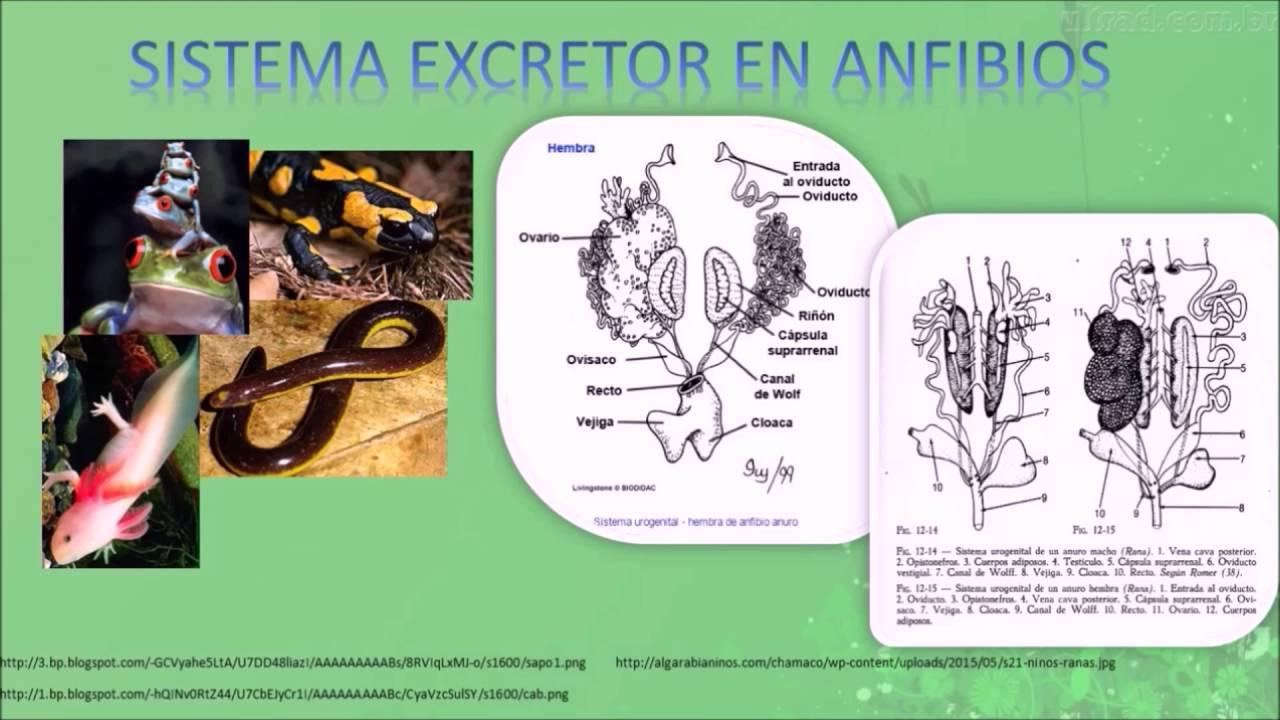 sistemas excretores en vertebrados - YouTube