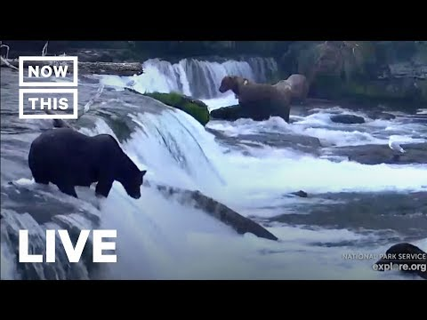 Brown Bears Fish For Salmon In Katmai National Park | NowThis