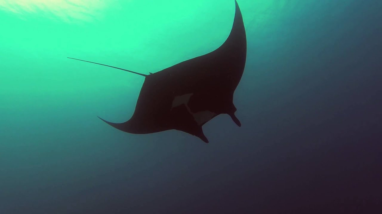 Manta ray swimming underwater with its dorsal fins spread open viewed - Giant Oceanic Manta Ray Giant Oceanic Manta Ray Maui Youtube