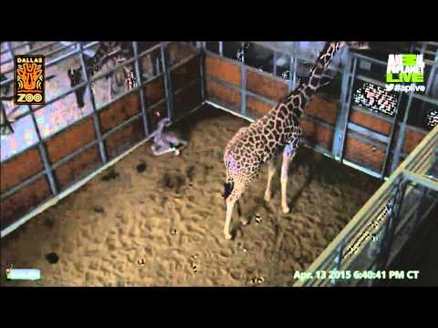 Katie the Giraffe and her new Calf Animal Planet Live 4/13/2015 Dallas Zoo