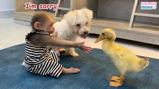 BiBi monkey  steals duckling's watermelon then...