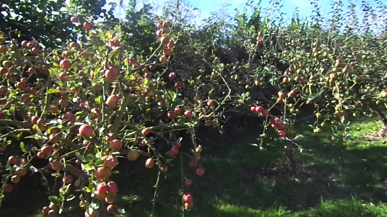apple variety sunset a good backyard fruit youtube