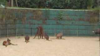 カンガルーが喧嘩してました。しっぽだけで立つカンガルーのしっぽの筋...