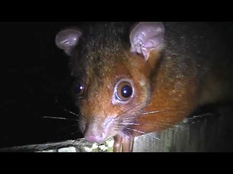 Blunty3000 And The Deadly Killer Possums Of Australia