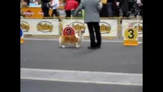 5 Dec 2010 Fci Osaka Inter Dog Show, Pembroke Welsh Corgi Champion Class Jugeing Bob