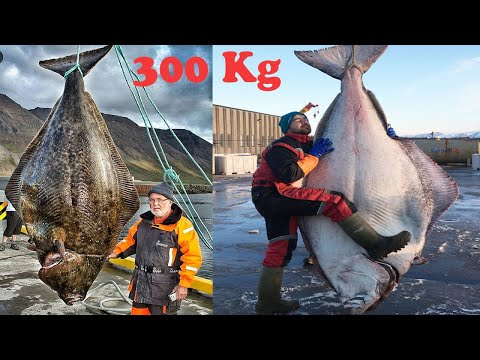 Amazing Giant Halibut Fishing On The Sea - Fastest Halibut Fillet Processing Skills