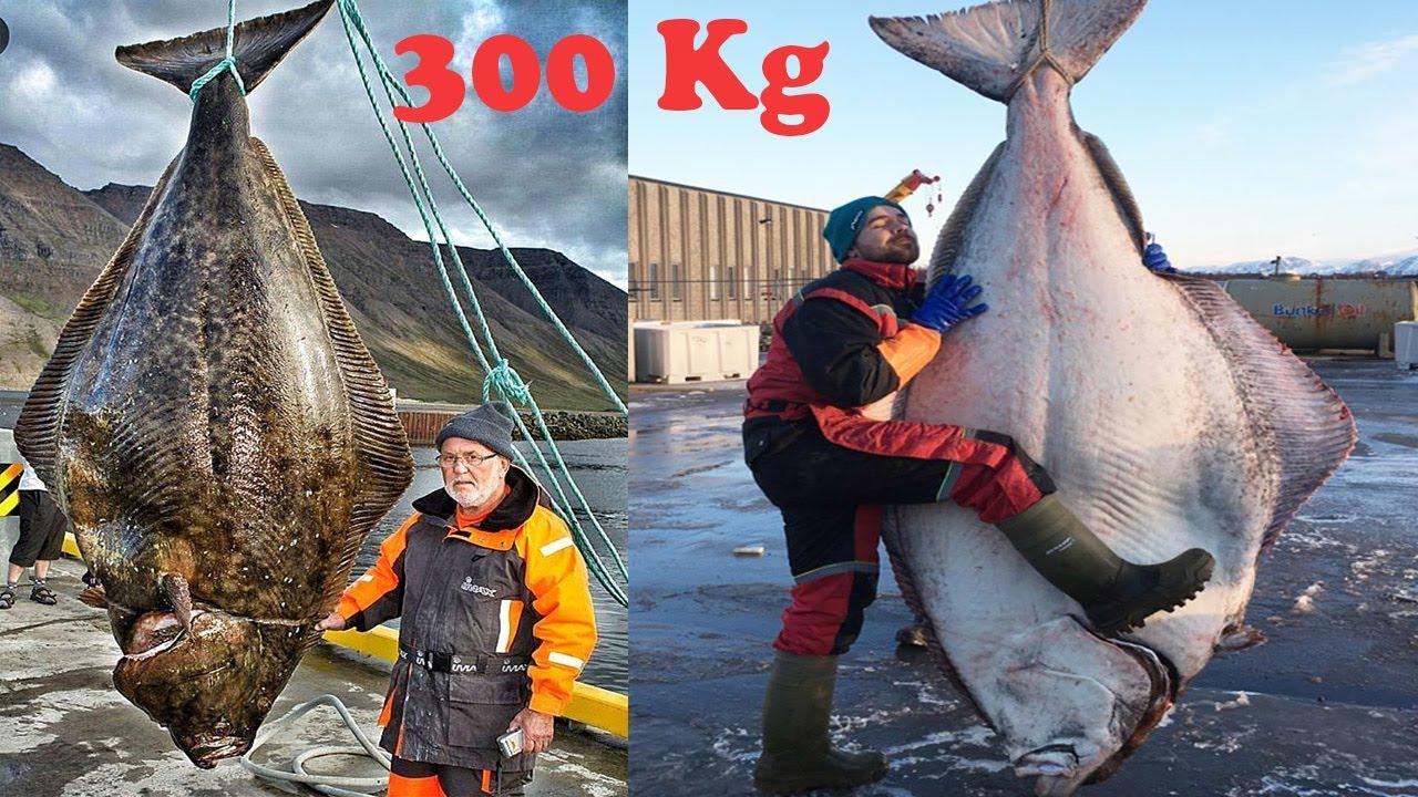 Amazing Giant Halibut Fishing On The Sea - Fastest Halibut Fillet Processing Skills
