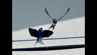 Swallow Live 24 hours 2ndシーズン産卵中。現在2個