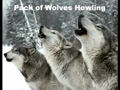 Wolves Howling Sound Effect