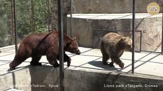 Странные отношения Юры с Настей. Тайган | Strange relationship bears. Taigan