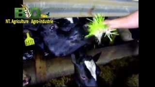 BioTec les vaches aiment notre orge hydroponique