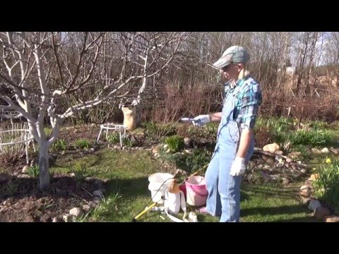 Срочно опрыскиваем яблони от цветоеда-долгоносика!
