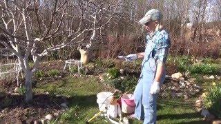 видео Яблонный или яблоневый цветоед, борьба с вредителем и профилактика